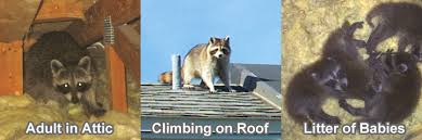 How Do You Get Rid Of Skunks In Your Backyard How To Get Rid Of Raccoons