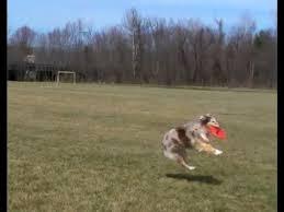 running with australian shepherd puppy bella australian shepherd running tracking jumping