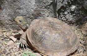 Ringed Map Turtle Desert Box Turtle Wikipedia