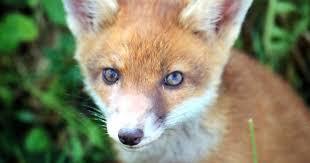 Pets Barn Hartpury Sick Video Showing U0027students Butchering Fox Cub U0027 To Be