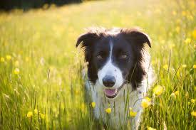 australian shepherd sheltie mix the top 10 smartest dog breeds