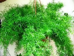 hanging plants for indoors summerhill garden centre