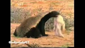 Honey Badger Meme - honey badger doesn t give a fuck youtube