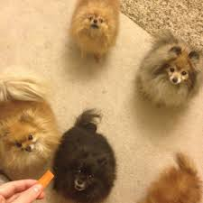 are baby carrots safe for pomeranians