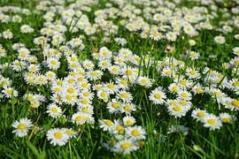 free photo daisy flower garden plant free image on pixabay