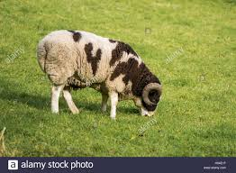 two horn pedigree jacob sheep ram brown and white piebald