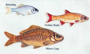 some common cold water pond fish