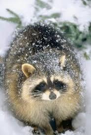 Evil Raccoon Meme - new evil raccoon meme 76 best raccoon images on pinterest meme and