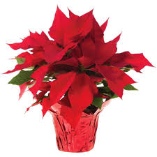 poinsettia tree 6 in live poinsettia in store only 6inp2013 the home depot
