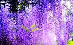 flower blossoms purple spring witeria wisteria beauty desktop