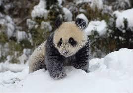 giant panda cubs in snow