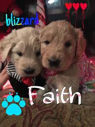 belgian sheepdog breeders indiana puppies for sale classified ads dogs for sale classifieds