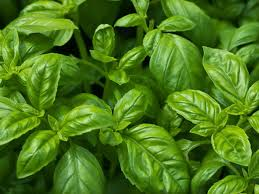 Indoor Plants Low Light Hgtv by How To Grow Basil Indoors Hgtv