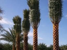 sylvester palm tree price a quality inc plantant