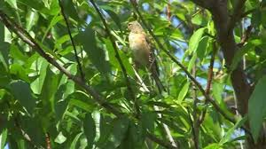 linnet bird in the tree