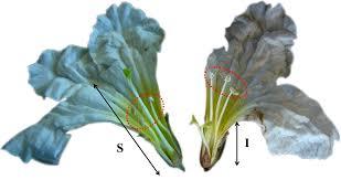 flower fruit phenology and flower traits in cordia boissieri