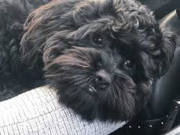 shi poo shihpoo dog breed information buying advice photos and facts