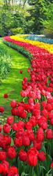 best 25 tulip garden amsterdam ideas on pinterest dutch tulip
