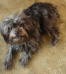 affenpinscher breeders texas affenpinscher breed information and pictures on puppyfinder com