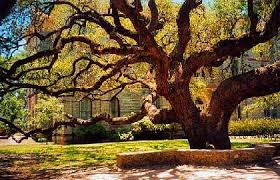 the cart war oak the hanging tree in goliad