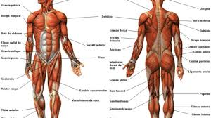 muscle coloring pages muscular system coloring page 27598