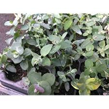 silver drop eucalyptus eucalyptus silver drop 2 plants 3 pots