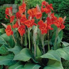 canna lilies canna bulbs for sale buy flower bulbs in bulk save