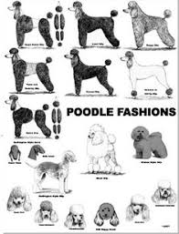 different styles of hair cuts for poodles modern poodle grooming chart illustration print poodle cuts