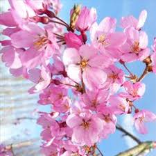prunus kursar tree flowering cherry trees ornamental trees