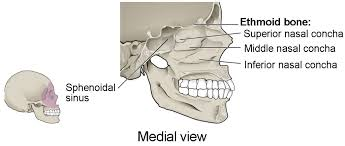 Parts Of Ethmoid Bone The Skull Anatomy And Physiology I