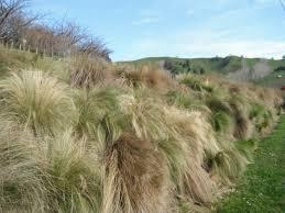 nassella tenuissima invading hillside newzealandgovt jpg 4320 3240