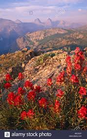 indian paintbrush flower indian paintbrush flowers with the grenadier range in the