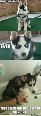 Funny Husky Memes - siberian husky memes image memes at relatably com