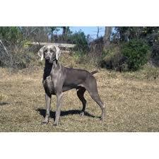weimaraner vs afghan hound weimaraner dog breeds dog com