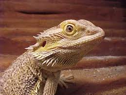 types lizards animal pictures facts factzoo