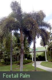 mexican fan palm growth rate how fast do palm trees grow in arizona phoenix trim a tree
