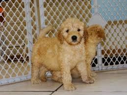 goldendoodle puppy virginia golden doodle puppies for sale in hton virginia west va