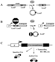 inducible gene expression and gene modification in transgenic mice