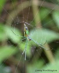 Decorative Spiders Tetragnathidae Long Jawed Spiders Of Thailand Farangs Gone Wild