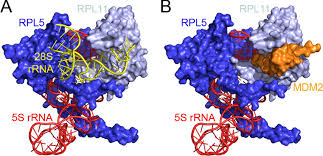 the importance of ribosome production and the 5s rnp u2013mdm2 pathway