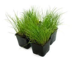 erba cipollina in vaso erba cipollina in vaso immagine stock immagine di background
