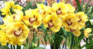 cymbidium orchid cymbidium orchid club of south australia inc