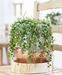 buy house plants now hanging pepper plant bakker com