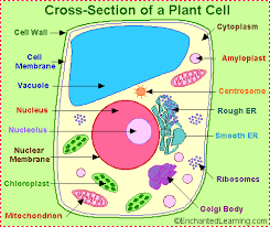which plant cell organelle uses light energy to produce sugar plant cell anatomy enchantedlearning com