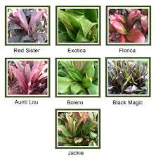ti plant ti plant cordyline terminalis mariposa nursery