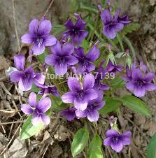 free shipping flowers garden plant 200 seeds violet viola yedoensis herba violae