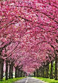 i want a blossom tree just one big blossom tree not a forest