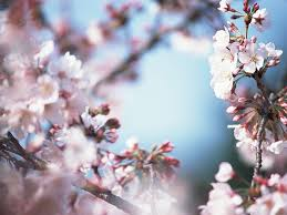 cherry flowers wallpapers flowers and buds cherry blossom wallpaper 25 wallcoo net