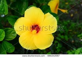 Yellow Hibiscus Flowers - climate yellow hibiscus stock images royalty free images