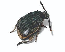 Small Black Flying Bugs In Bathroom Weevils Weevil Facts U0026 Control Information